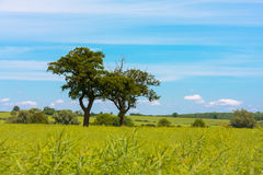 Two old oak trees in oil seed rape field Stock Photo