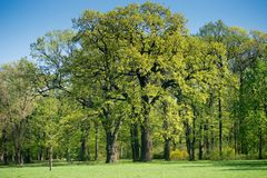 Two old oak trees in spring park. On sunny day stock images