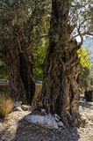 Two old olive trees are lit by the rays of the sun. In the foreground the white mantel Royalty Free Stock Photography