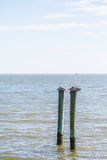 Two Old Pelicans on Wood Posts Stock Photo