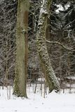 Two oak trees leaning to each other in the forest in winter Royalty Free Stock Photos