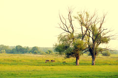 Two old trees on a green meadow and herd of the grazed rams Stock Photo