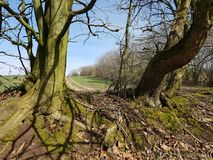 Two old trees on a hedges wall in North Germany. A Kink or Hedged bank in German: Knick is a woody overgrown, mostly artificially built earth or stone wall. They Stock Photo