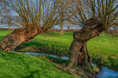 Two old trees by stream Royalty Free Stock Image