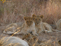 Two older lion cubs royalty free stock photo