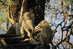 Two olive baboons in a tree Stock Image