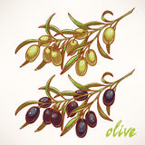 Two olive tree branches Stock Photo
