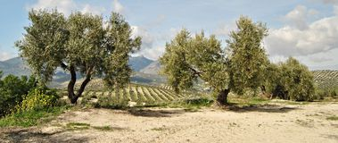 Two olive trees Royalty Free Stock Images