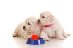 Two One month old puppie of golden retriever Stock Image