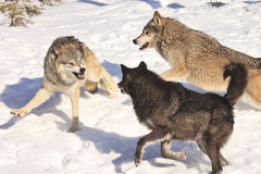 Two on one. Pecking order of wolf pack stock image
