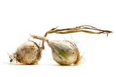 Two onion. On white background Royalty Free Stock Images