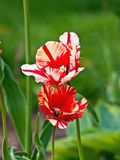 """Two open """"Flaming Parrot"""" hybrid tulips. Royalty Free Stock Photos"""