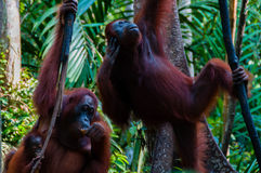 Two Orang Utan hanging on a tree in the jungle Stock Photo