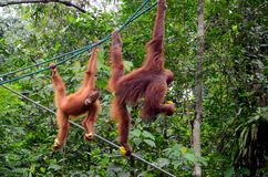 Two orang utan monkey apes on ropes with bananas at nature reserve Kuching Sarawak Malaysia. Kuching, Malaysia - October 12, 2018: Two playful orang utans royalty free stock image