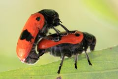 Two orange beetles are having sex. In nature Stock Photography