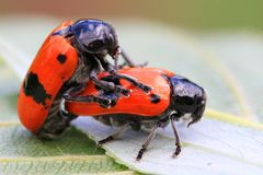 Two orange beetles are having sex. In nature Royalty Free Stock Photo