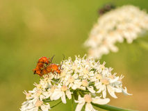 Two orange bugs on a wild flower Stock Photography
