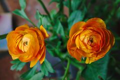 Two orange buttercups royalty free stock image
