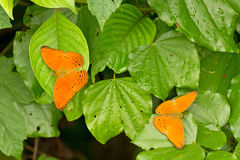 Two orange butterflies Stock Photography