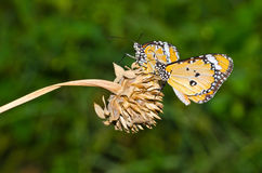 Two orange butterflies on dry flower Stock Images