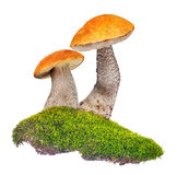 Two orange-cap boletus in green moss isolated on white Royalty Free Stock Photos