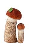 Two orange-cap boletuses Stock Image