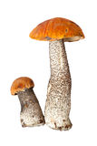 Two orange-cap mushrooms Stock Photography