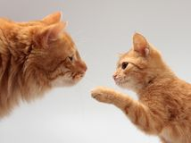 Two orange cat Stock Images