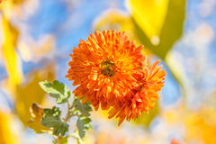 Two orange chrysanthemums Stock Images