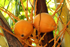 Two orange coconuts hanging in the tree. Orange coconuts hanging in a coconut tree on a tropical caribbean paradise Island Royalty Free Stock Photo