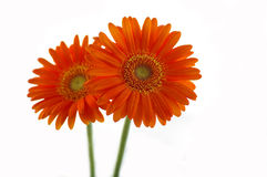 Two orange daisies Stock Photos