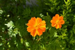 Two Orange Daisies Illuminated By The Morning Sun Focused The One In The Foreground. Art, Flowers, Plants. Two Orange Daisies Illuminated By The Morning Sun royalty free stock photo