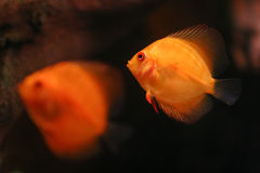 Two Orange Discus Royalty Free Stock Images