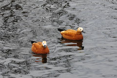 Two orange ducks in the pond. Pair of adorable orange ducks in the pond Stock Images