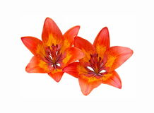 Two orange flowers on a white background. Two orange flowers Asian tiger lilies on a white background Royalty Free Stock Image
