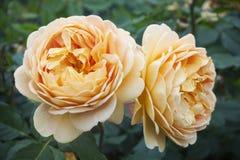 Two orange fluffy rose flower, on green blurred background, close-up. Two orange fluffy rose flower, on green blurred background royalty free stock photo