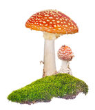 Two orange fly agarics in green moss on white Royalty Free Stock Image