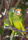 Two Orange Fronted Parakeets Stock Image