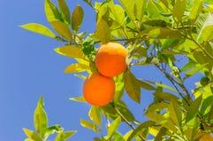 Free Two Orange Fruit On The Tree. Royalty Free Stock Photography - 121589507
