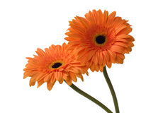 Two orange gerberas Stock Photos