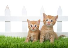 Two orange ginger kittens sitting in green grass in front of white picket fence isolated. Two Adorable orange ginger tabby kittens sitting in green grass in stock image