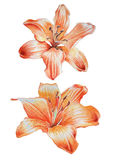 Two orange lilies. Stock Photos