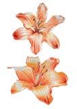 Two orange lilies. Stock Photos