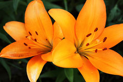 Two orange lily Royalty Free Stock Photography