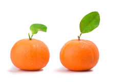 Two orange mandarins Royalty Free Stock Photography