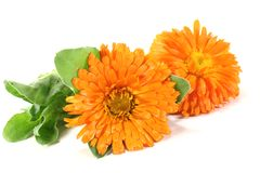 Two orange Marigold Stock Photo