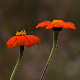 Two Orange Mexican Sunflowers Stock Images