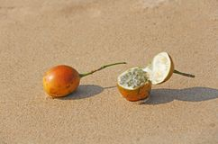 Two orange open passion fruit with seeds. Passion fruit closeup royalty free stock photography