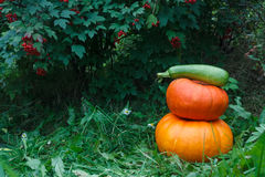 Two orange pumkins in green garden. Two orange pumkins and green squash in a garden with red berries royalty free stock photography