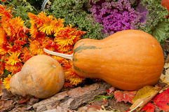 Two orange pumpkins, chrysanthemums and decorative cabbage in a Royalty Free Stock Image
